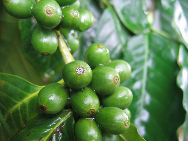 Diet benefits of green coffee beans